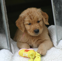 Golden retriever breeders fort worth tx